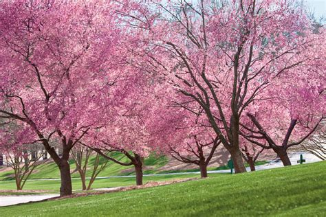 pictures of cherry blossom trees growing cherry blossoms southern living