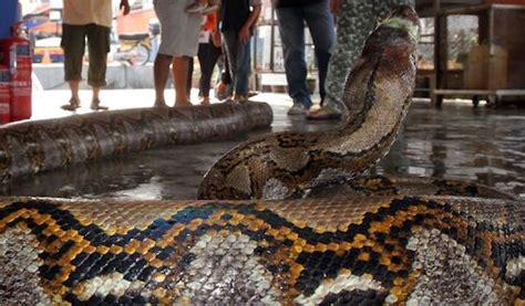 film ular piton ular piton sudah tiga kali bertamu ke rumah warga daerah