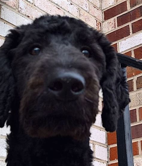 bailey doodle club airedoodle breed information and pictures