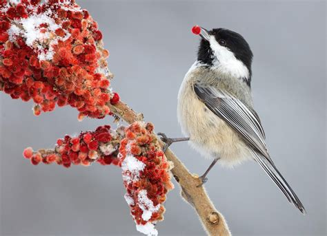 Backyard Gifts by Black Capped Chickadee Audubon Field Guide