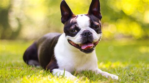 best small breeds 10 best small breeds for families models picture