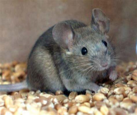come eliminare topi in casa come difendersi da topi e ratti in casa
