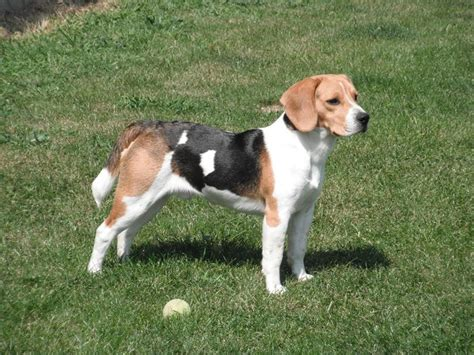 beagle in appartamento il beagle nano cani taglia media caratteristiche