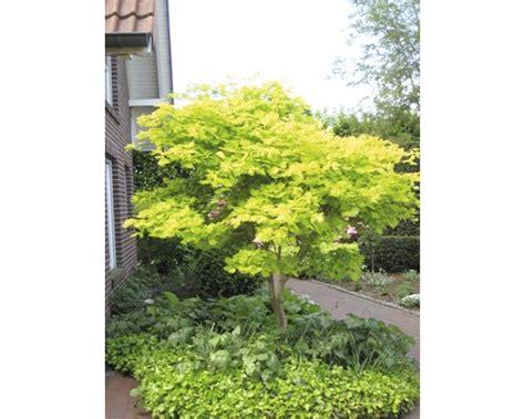 Kleines Bild Vergrößern by F 228 Cherahorn Gelb Acer Shirasawanum Aureum 50 60 Cm Bei