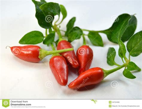 fresh tiny small fresh peppers royalty free stock image image