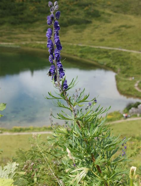 allgaeu erleben blaue blumen der allgaeuer alpen