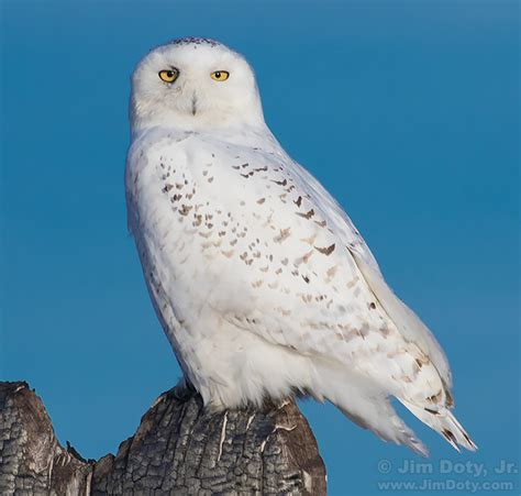 it is not too late to photograph snowy owls blog jimdoty com