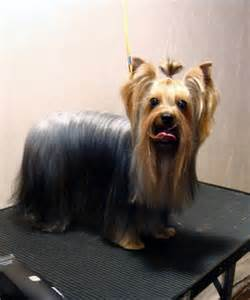 Yorkie haircuts pictures and select the best style for your pet