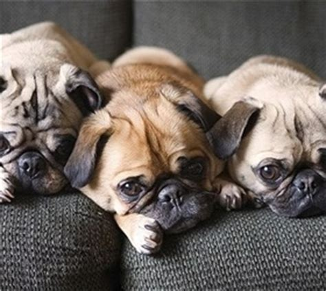 pugs characteristics physical characteristics pugs are small