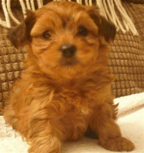 bichon yorkie for sale for sale yorkie cross bichon pups telford shropshire pets4homes