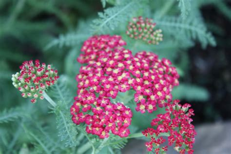 Garden Yarrow Flower Picture Yarrow Flower