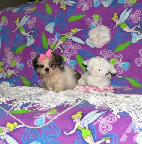 shih tzu for sale in jacksonville fl imperial shih tzu puppy for sale in jacksonville florida classified americanlisted