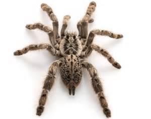pet tarantulas