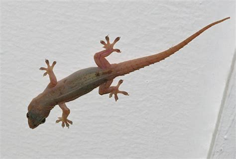 house lizard island breath kauai flora fauna the gecko