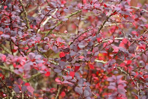 landscape trees and shrubs with purple leaves