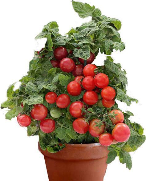 pomodorini in vaso coltivazione pomodori casasuper