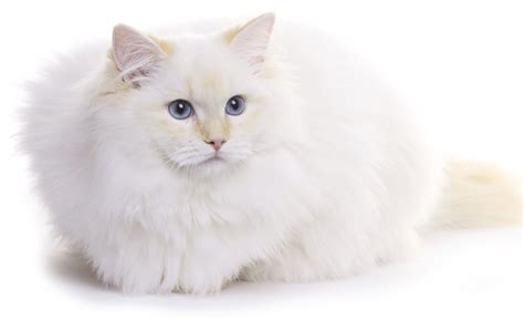 ragdoll white cat white cat breeds all about the most beautiful pale kitties