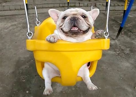 french bulldog swing two french bulldogs on a swing set video