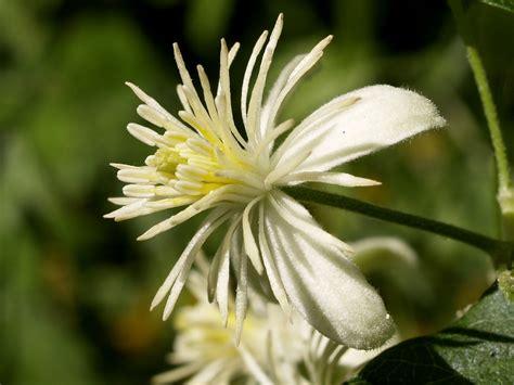 clematis fiore di bach clematis il fiore di bach per chi sogna ad occhi aperti