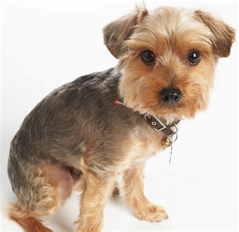 yorkie haircuts pictures summer cuts