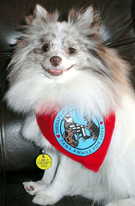 how to your pomeranian to do tricks 17 best images about smiles on memories pets and with