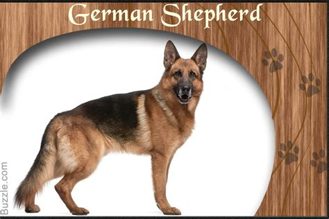 german shepherd collie mix personality traits of border collie and german shepherd