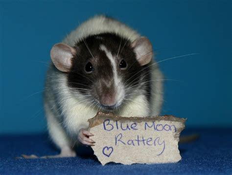 what color are rats fancy rats colors