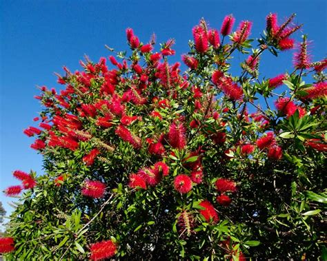 Flowers In November by Gardensonline Callistemon Citrinus