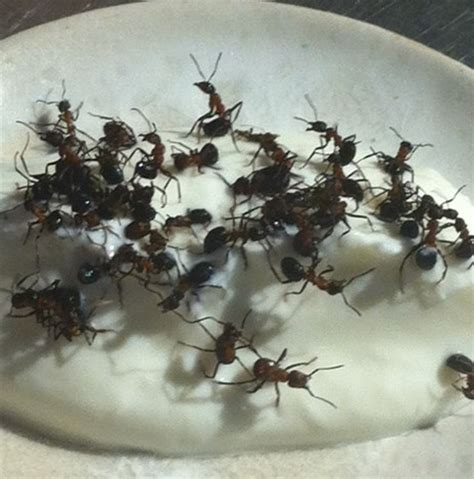 live ant yogurt dish: rene redzepi experimenting with new