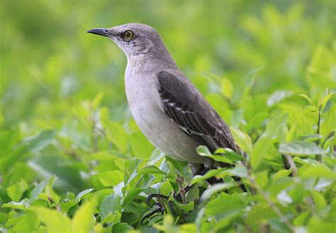 all about birds northern mockingbird