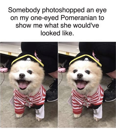 how is a pomeranian 12 minutes 25 best memes about pomeranian pomeranian memes