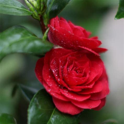 Black Camellia camellia japonica black lace camellia 12l bush clifton