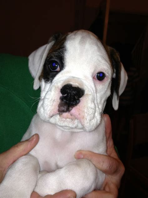 For Sale KC White Boxer Dog with Brindle patches