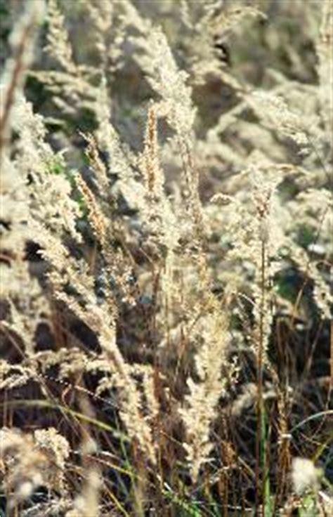 Schilf Im Garten 2128 by Botanik Fotos