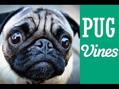 pug songs new pug vines compilation allmusicsite