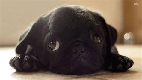 black pug puppy wallpaper black pugs puppies wallpaper