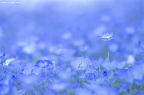 a sea of 4 5 million baby blue eye flowers in japan s hitachi seaside park colossal
