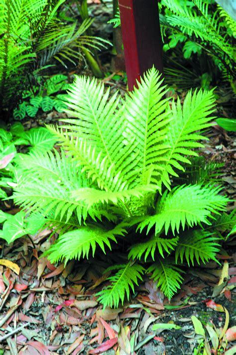 blechnum silver lady common  dwarf tree fern mm
