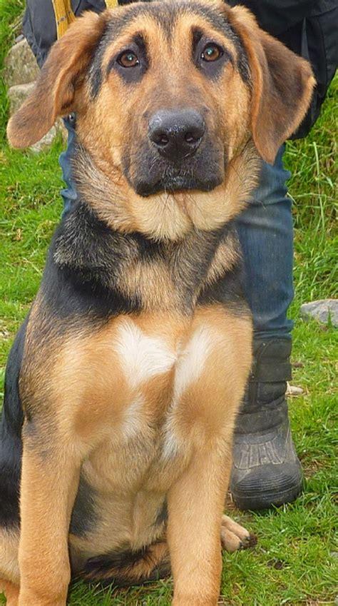 german shepherd cross rottweiler tippy 16 week german shepherd cross rottweiler for adoption