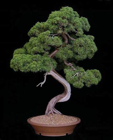 bisnis bonsai aneka tanaman bonsai