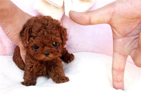 micro mini puppies tea cup dogs that stay tiny animals stuffed animals puppys and