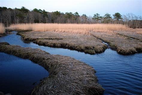 salt hay in the marsh flickr photo sharing