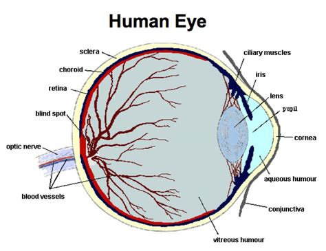 structure diagram structure of a human eye and function the structure of the