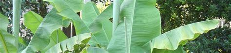 Quand Planter Un Bananier by Planter Un Bananier Gamm Vert