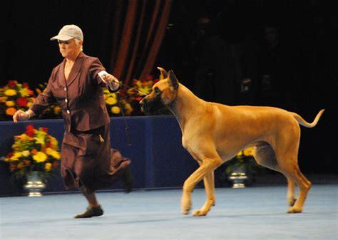 show winner 2012 national show best in show winner is wire fox terrier named sky