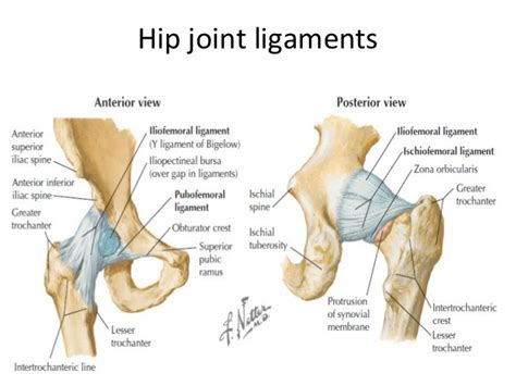 diagram of the hip related keywords suggestions for hip joint anatomy