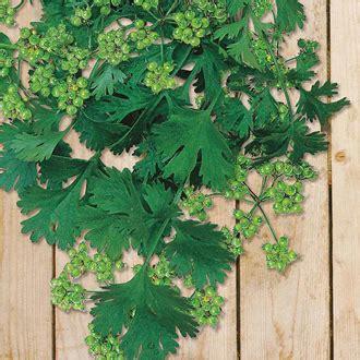 Bibit Seledri Aroma coriander for seed