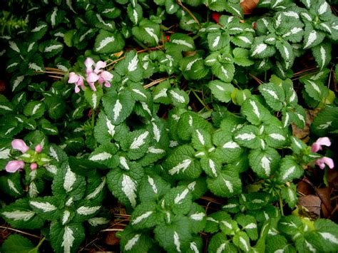 ground cover plants for shade homeflowergardening com