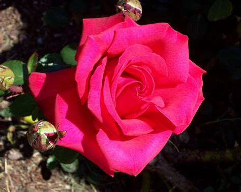 rose can growing roses in the southwest hgtv