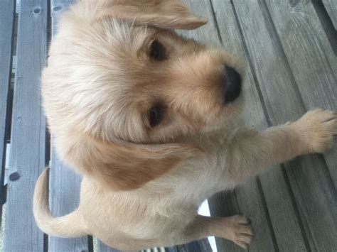 f1 labradoodle puppies for sale adorable f1 labradoodle puppies for sale houghton le tyne and wear pets4homes
